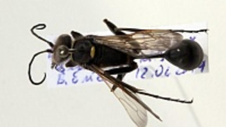 Редчайшие осы мешали жительнице Воронежской области спать ночами