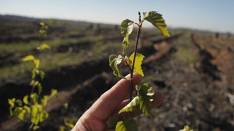 В воронежском Сомово посадили 7 тыс берез