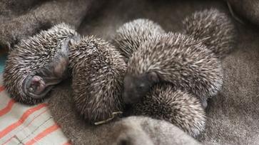 Воронежские зоозащитники приютили 6 новорожденных ежат
