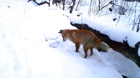 Заповедник из Воронежской области показал на видео хищников с их добычей