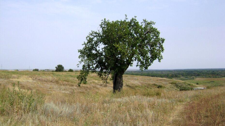 Таловский 200-летний дуб стал участником программы «Деревья – памятники живой природы»
