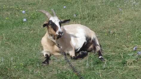 В Верхнем Мамоне дядя с племянником попали под следствие за съеденную козу