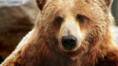 Следователи начали проверку после нападения медведя на пенсионера под Воронежем