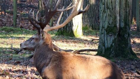 В Воронежском заповеднике стало вдвое больше благородных оленей
