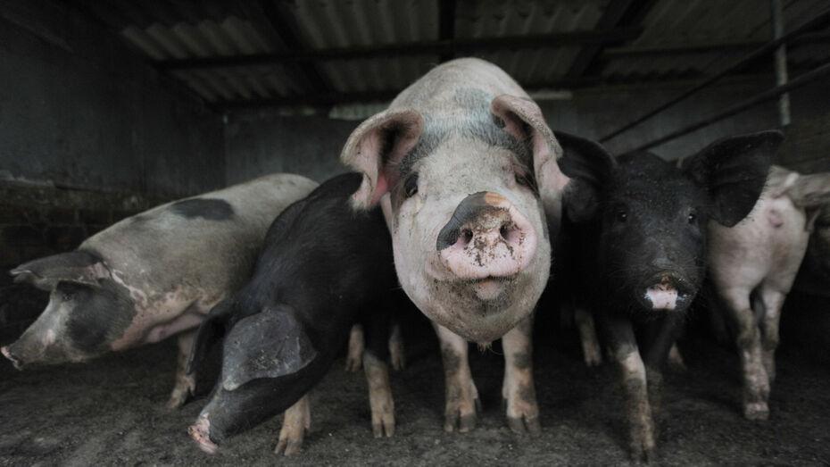 Карантин по африканской чуме свиней ввели в районе Воронежской области