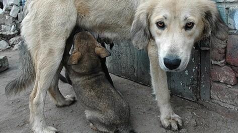 В Воронеже будут массово стерилизовать бездомных собак