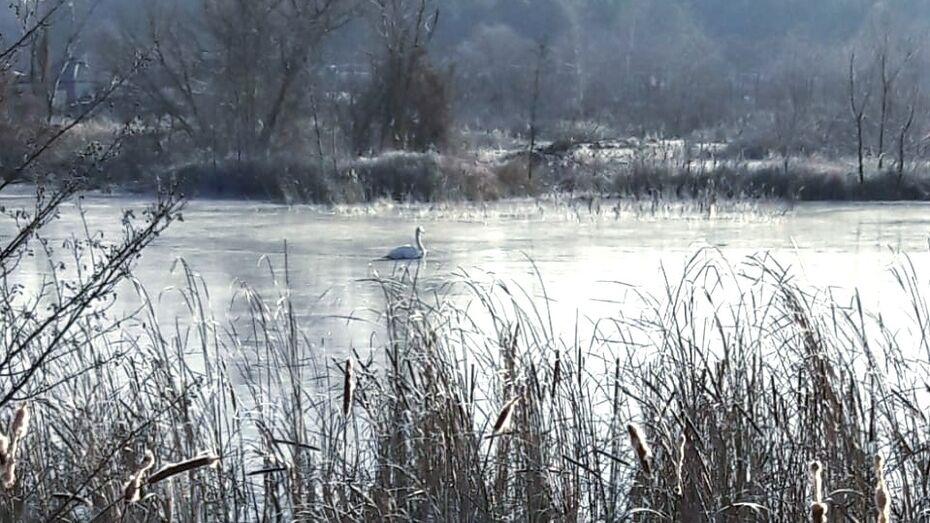 В Воронежском заповеднике объяснили, почему не улетели борские лебеди