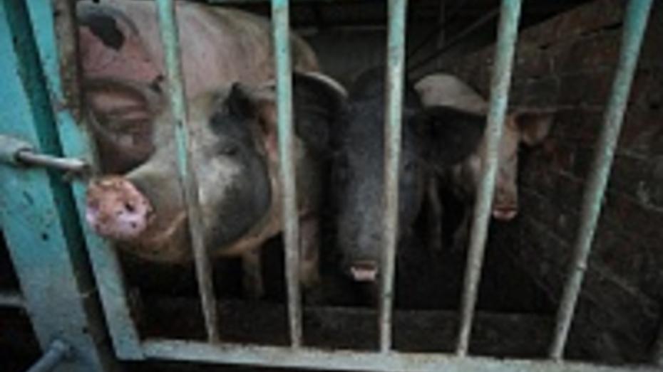 Белоруссия запретила ввоз в страну свинины из Воронежской области