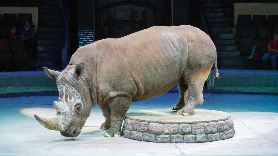 Номер с единственным в мире дрессированным носорогом покажут в Воронежском цирке
