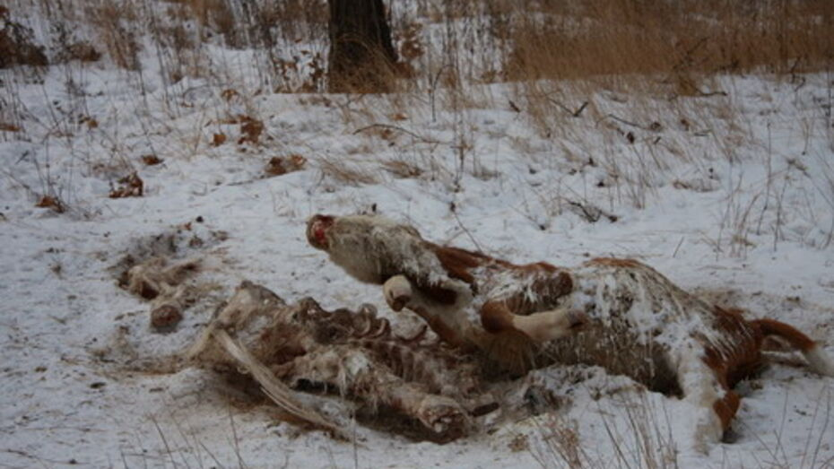 В Аннинском районе нашли кости теленка, присыпанные навозом