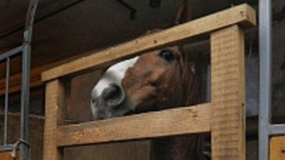 Цирковому коню, которого забраковали из-за хромоты, нашли хозяев в Воронеже