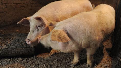 На воронежском складе ввели карантин из-за зараженного чумой мяса