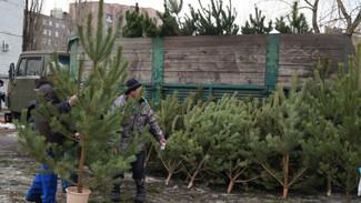В Воронеже уже начали продавать елки
