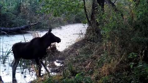 Видео с водопоя диких зверей показал Воронежский заповедник
