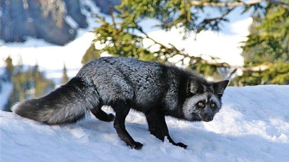 В верхнемамонские леса вернулась лиса-чернобурка