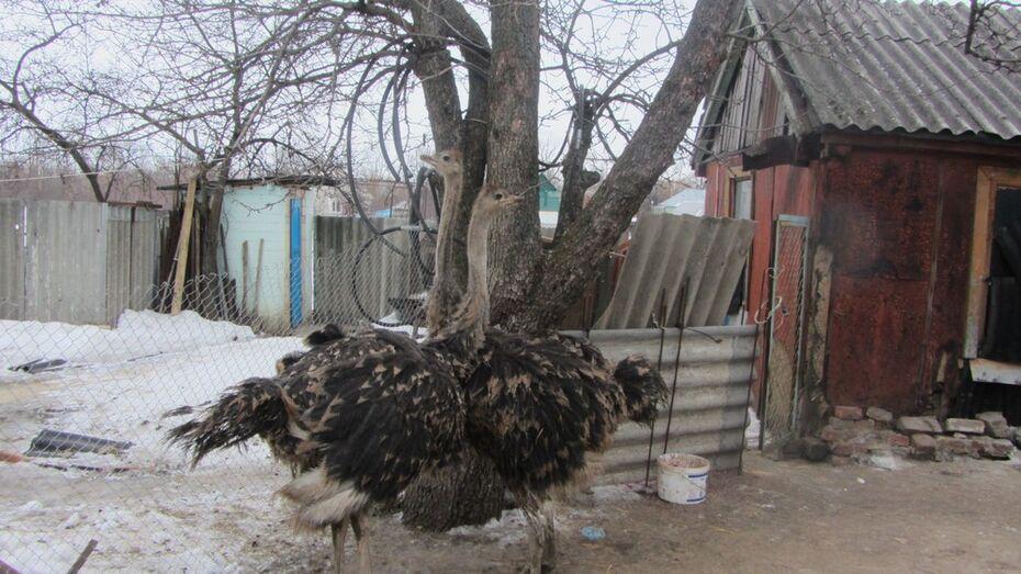 Жительница каширского поселка получила в подарок двух страусят