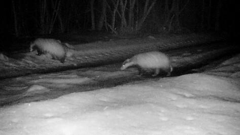 Барсуки проснулись и покинули норы в Воронежском заповеднике