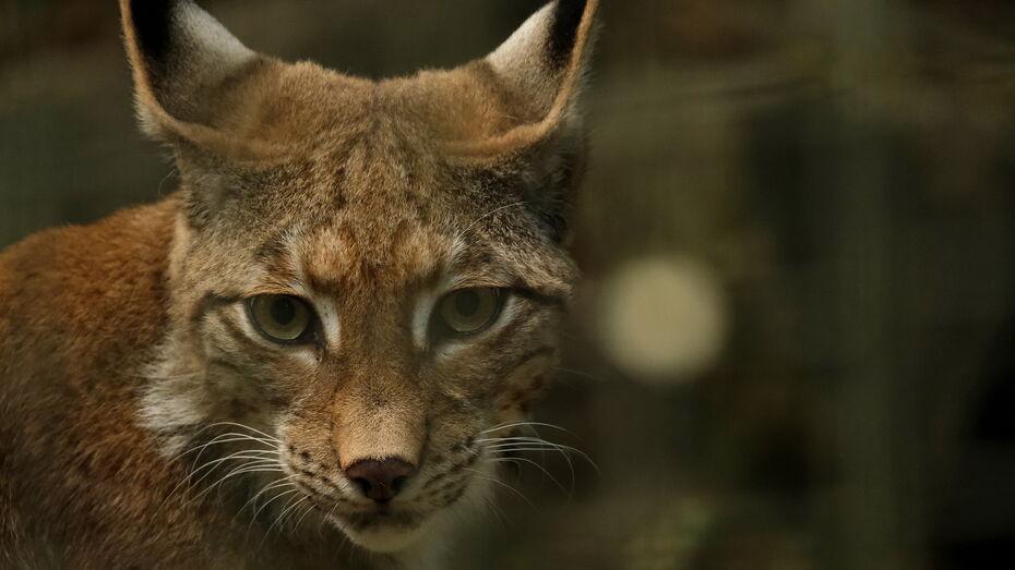 Мартовский крик одинокой рыси запечатлели в Воронежском заповеднике