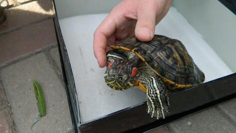 В Воронеже в озере на Минской нашли около 15 брошенных черепах