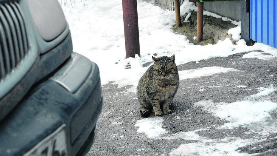 Кошка из Россоши проехала 500 км под капотом автомобиля
