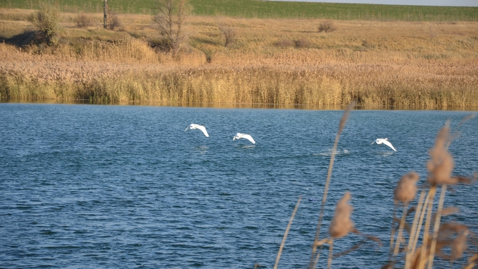 В пригороде Павловска на пруду поселились лебеди
