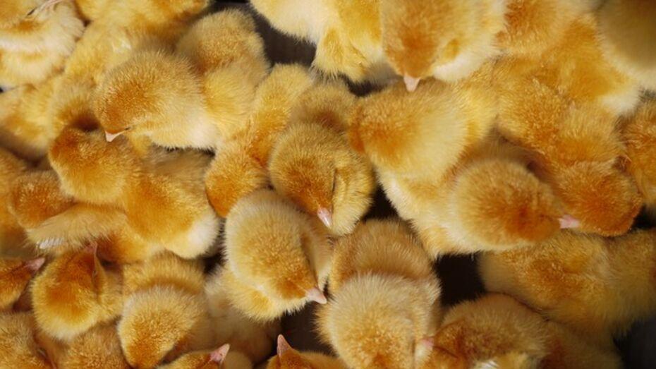 Жители Воронежской области попытались унести с птицефермы 650 цыплят