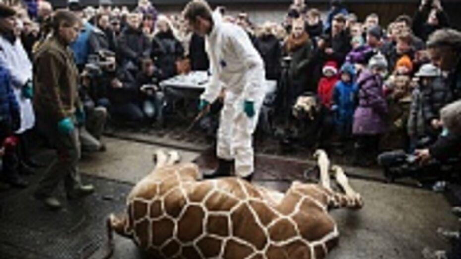 Воронежцы почтят память датского жирафа Мариуса на пикете
