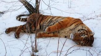 По факту побега тигра Шерхана в Воронеже возбудили уголовное дело