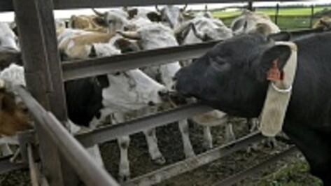 Минсельхоз высоко оценил достижения Воронежской области в животноводстве