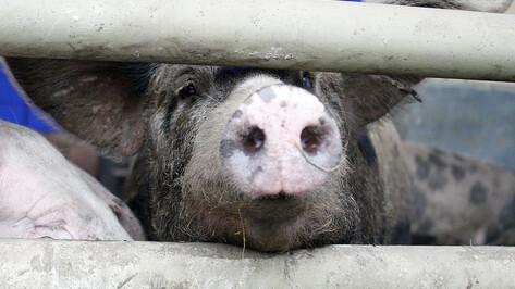 Африканскую чуму свиней обнаружили в районе Воронежской области