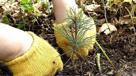 В Теллермановском лесничестве на месте горельников посадили миллион саженцев