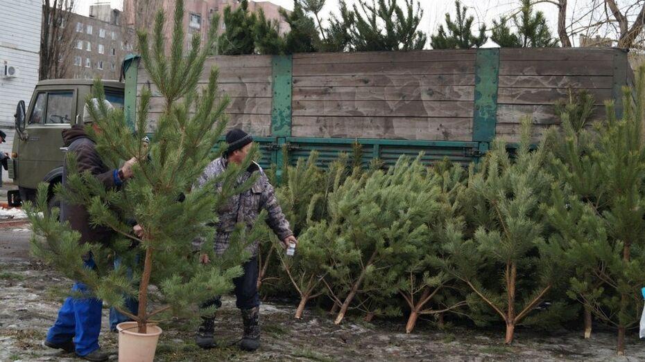 Лискинские лесоводы подарили более 100 елок детским учреждениям