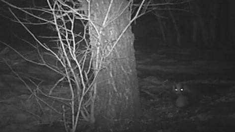 В Воронежской области сотрудники заповедника опубликовали видео семейства барсуков