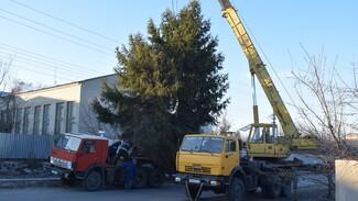 Жительница Подгоренского района подарила землякам 15-метровую новогоднюю елку