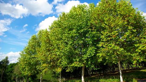 Дагестанский платан представит Россию на конкурсе «Европейское дерево года – 2021»