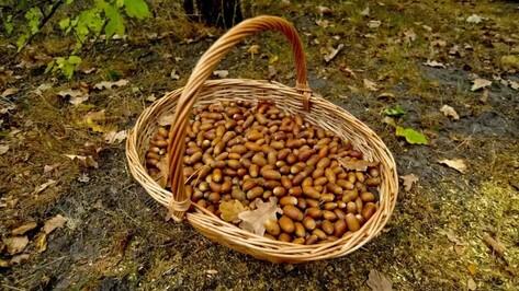 Воронежские лесничества втрое перевыполнили план сбора лесных семян