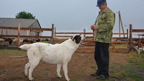 В Кантемировке бешеная лиса напала на сторожевую собаку