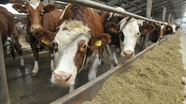 В Воронежской области в развитие молочного скотоводства дополнительно вложат 266 млн рублей