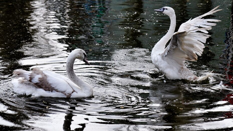 В Воронеже в озеро на Минской выпустили пару молодых лебедей