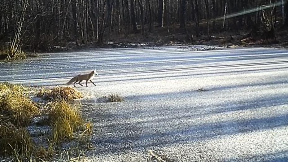Лиса в поисках еды на замерзшем озере в Воронежском заповеднике попала на видео