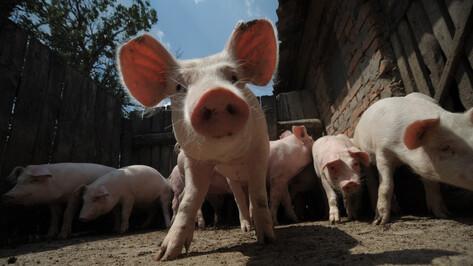 Карантин по африканской чуме свиней установили в 2 районах Воронежской области