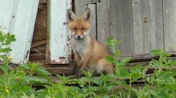 В Грибановском районе семейство лис поселилось в заброшенном доме