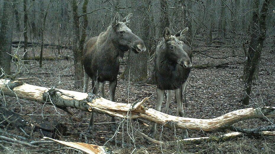 В Воронежской области выросла численность оленей и лосей в 2017 году