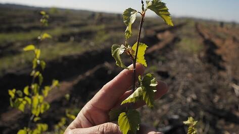 В Лискинском районе восстановят Лес Победы