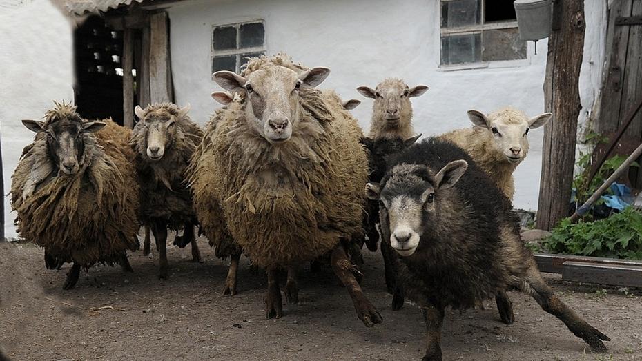 В панинском селе Петровское объявили карантин из-за оспы овец и коз