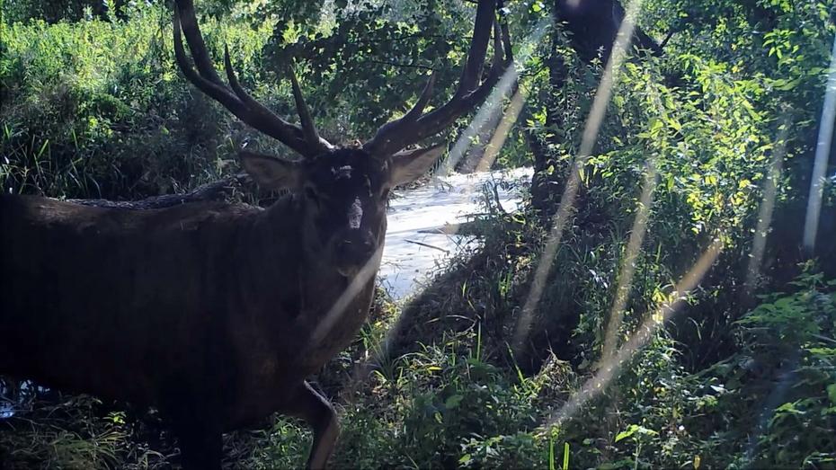 Благородные олени попали в объектив фотоловушки Воронежского заповедника