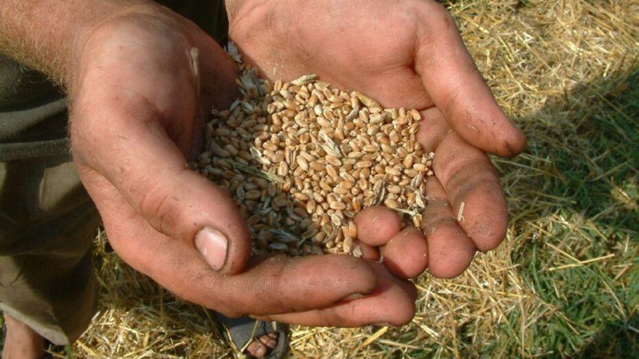Воронежские аграрии запланировали собрать 4,4 млн т зерновых