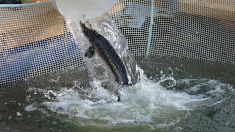 Первая воронежская осетровая ферма к октябрю поставит в магазины 2 тонны рыбы