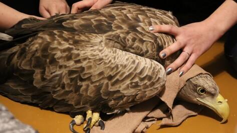 Сотрудники воронежского заповедника нашли раненую краснокнижную птицу