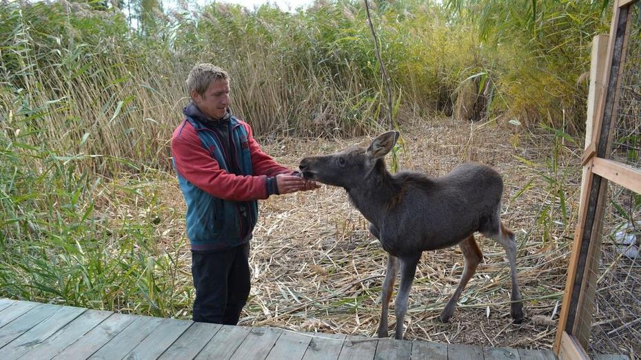 В воробьевском Ломовском парке появился лосенок